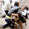 "Humane Society e Insurance Auto Auctions Presentan ""El Día del Pit Bull"""