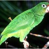 Survival of the Puerto Rican Parrot