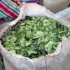 The FARC's Effort to Legalize Coca