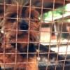 Se Pide la Prohibición de Casas de Reproducción de Cachorros en el Condado de Cook