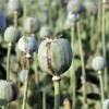 The Danger of Myanmar's Opium Trade