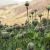 Why It is Hard to Legalize Opium
