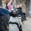 Celebre el Día Mundial del Pingüino en Brookfield Zoo