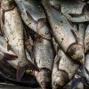 New Grant Program Available to Help Companies Market Asian Carp Products