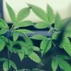 El Gobernador Pritzker y los Legisladores Anuncian Gran Paso Para Legalizar el Uso de la Mariguana en Adultos