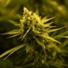 Gov. Pritzker Signs Legislation Strengthening Illinois' Medical Cannabis Program