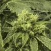 El Concilio de la Ciudad Aprueba los Primeros Requisitos de Zonificación de Chicago para la Legalización de la Mariguana